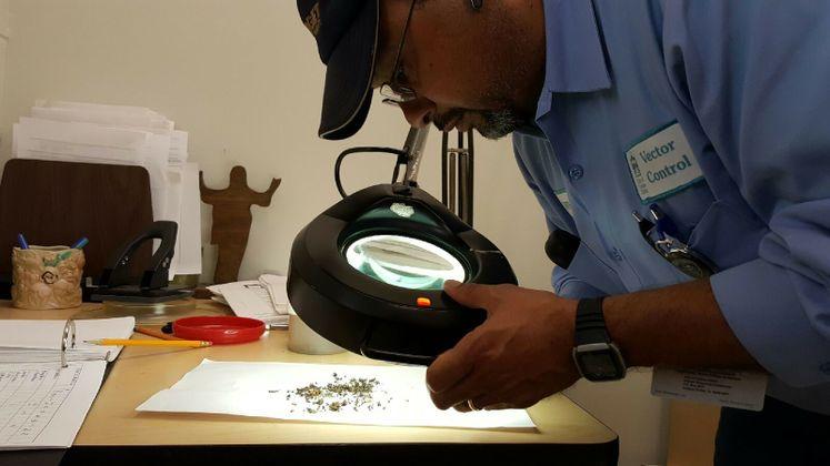 J. Pantoja, Vector Control Officer Classifies Mosquito Batch