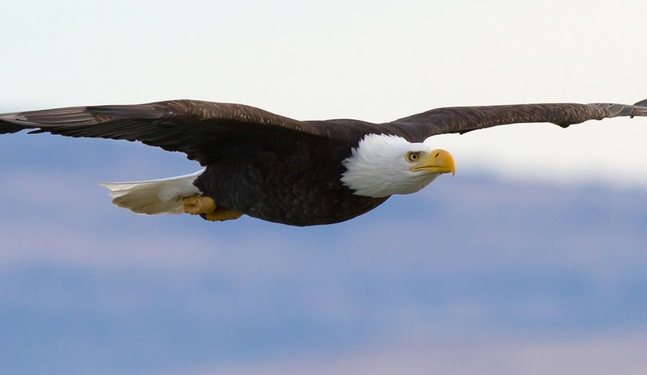 On the prowl for eagles in Indiana
