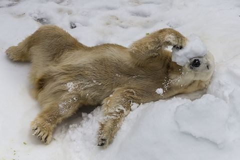 New Collaboration Aims to Answer Critical Questions About Polar Bear Arctic Survival Using Innovative Autonomous Technology