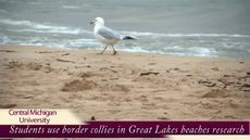 CMU researchers improving Great Lakes beaches using border collies